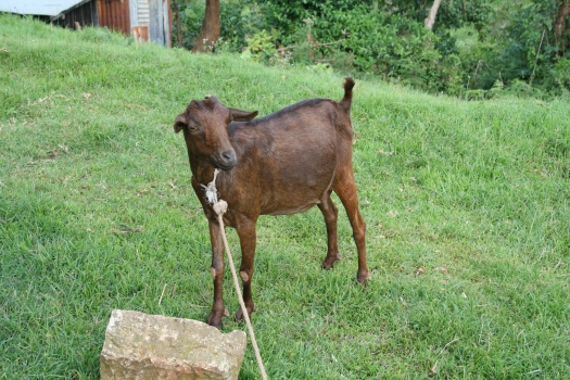 Goat in Chogoria, Kenya