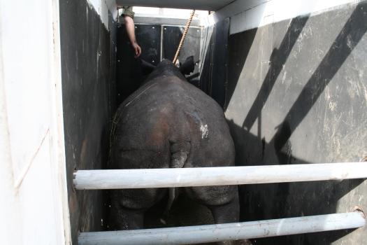 Black rhino (Diceros bicornis bicornis) in capture crate for relocation, Namibia