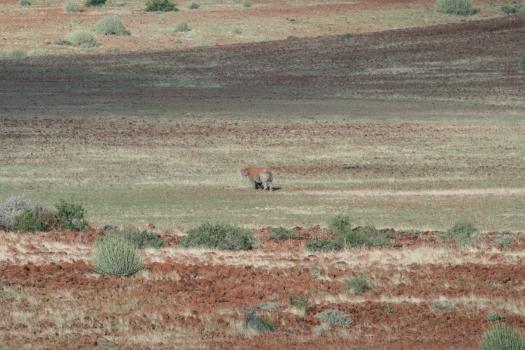 Black rhino (Diceros bicornis bicornis) in Kunene Region, Namibia
